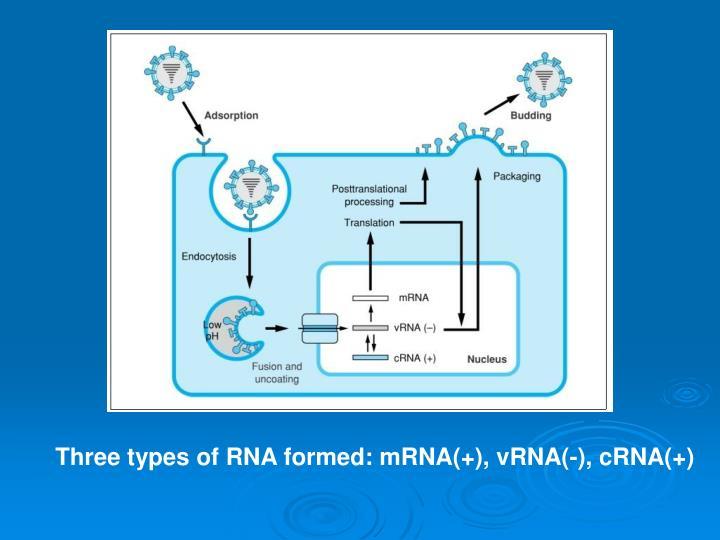 Three types of RNA formed: mRNA(+), vRNA(-), cRNA(+)