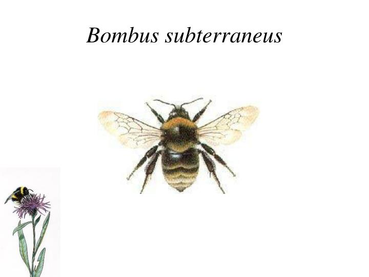 Bombus subterraneus