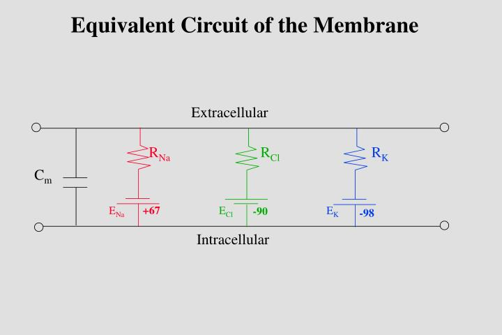 Equivalent Circuit of the Membrane