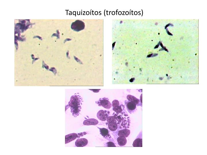 Taquizoítos (trofozoítos)
