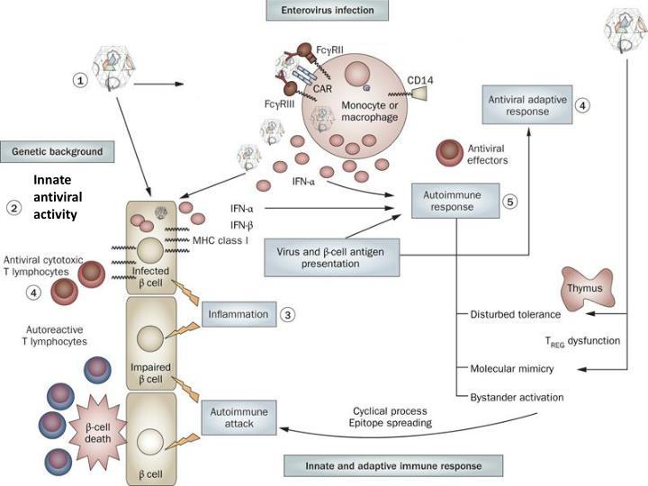 Innate antiviral activity