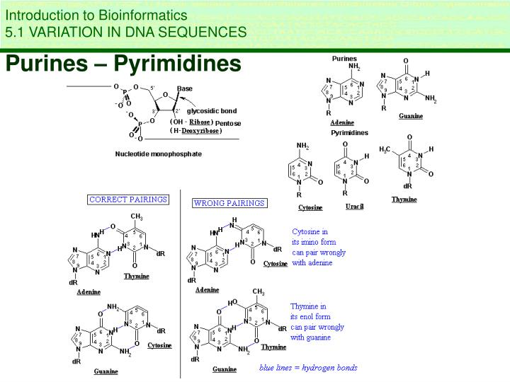 what is the relationship between purines and pyrimidines