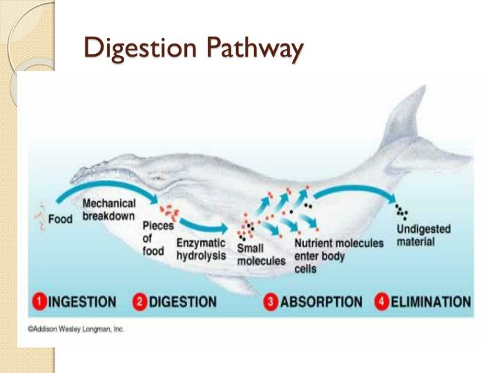 Digestion pathway