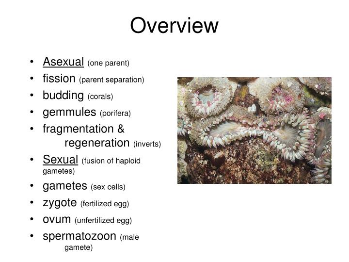 Asexual (one parent) fission (parent separation) budding (corals) gemmules