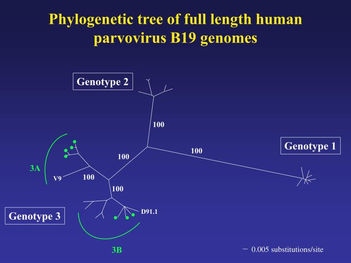 Phylogenetic tree of full length human parvovirus B19 genomes