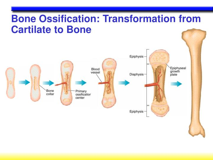 Bone Ossification: Transformation from Cartilate to Bone