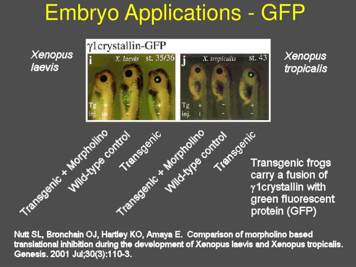 Embryo Applications - GFP