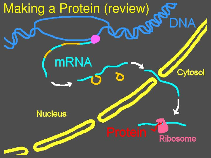 Making a Protein (review)