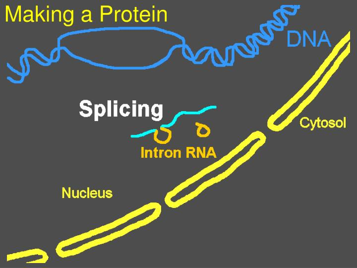 Making a Protein