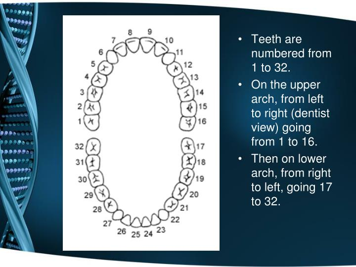 Teeth are numbered from 1 to 32.