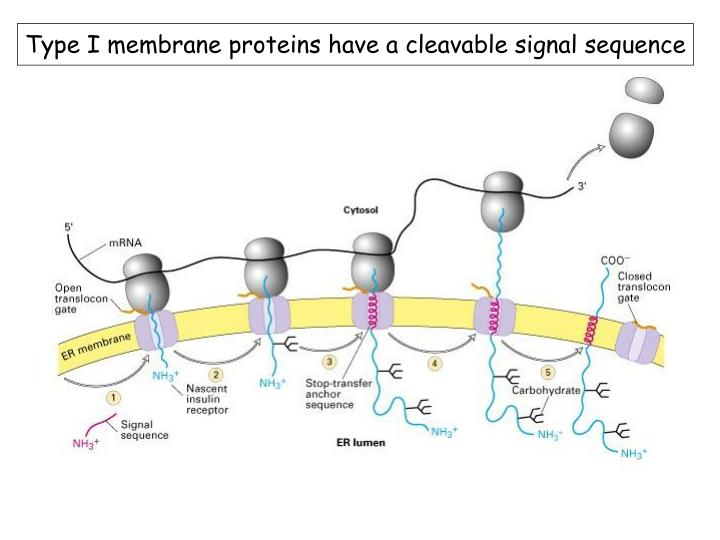 Type I membrane proteins have a cleavable signal sequence