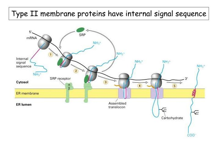 Type II membrane proteins have internal signal sequence