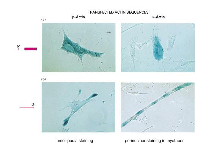 lamellipodia staining