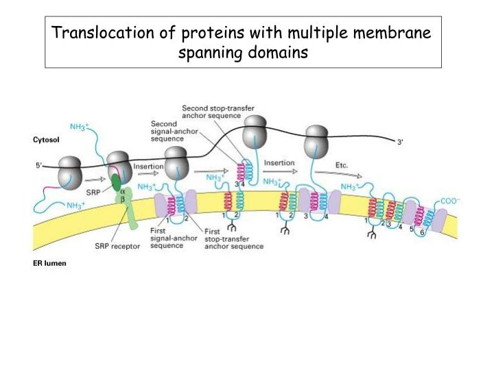 Translocation of proteins with multiple membrane