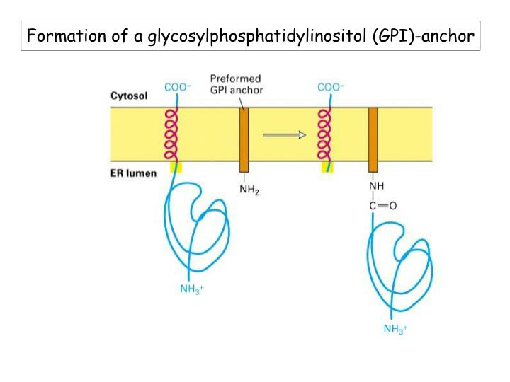 Formation of a glycosylphosphatidylinositol (GPI)-anchor