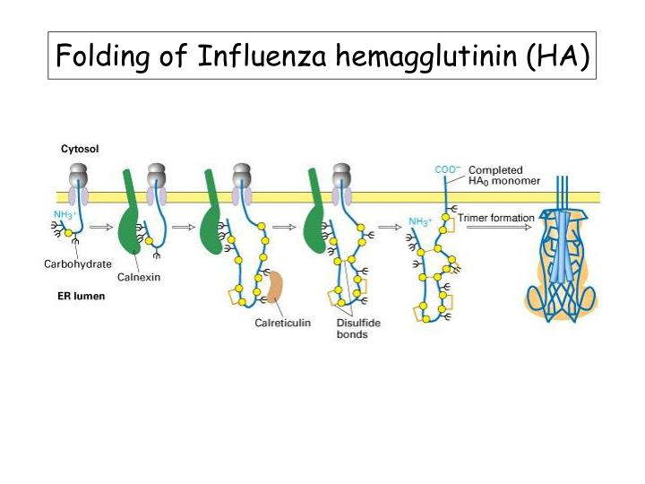 Folding of Influenza hemagglutinin (HA)