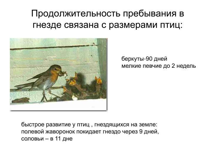 Продолжительность пребывания в гнезде связана с размерами птиц: