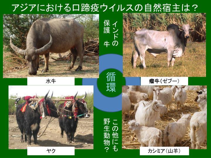 アジアにおける口蹄疫ウイルスの自然宿主は?