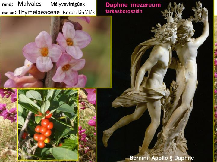 Daphne  mezereum