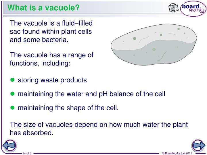 What is a vacuole?