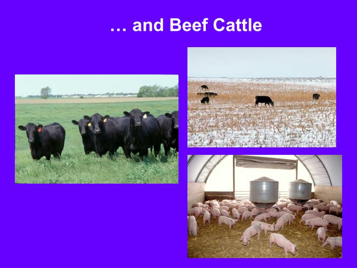 … and Beef Cattle