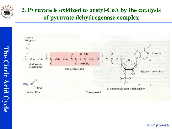 2. Pyruvate is oxidized to acetyl-CoA by the catalysis of pyruvate dehydrogenase complex
