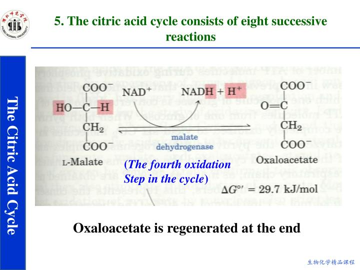 5. The citric acid cycle consists of eight successive reactions