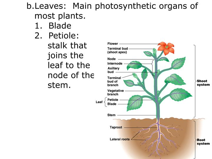 Leaves:  Main photosynthetic organs of