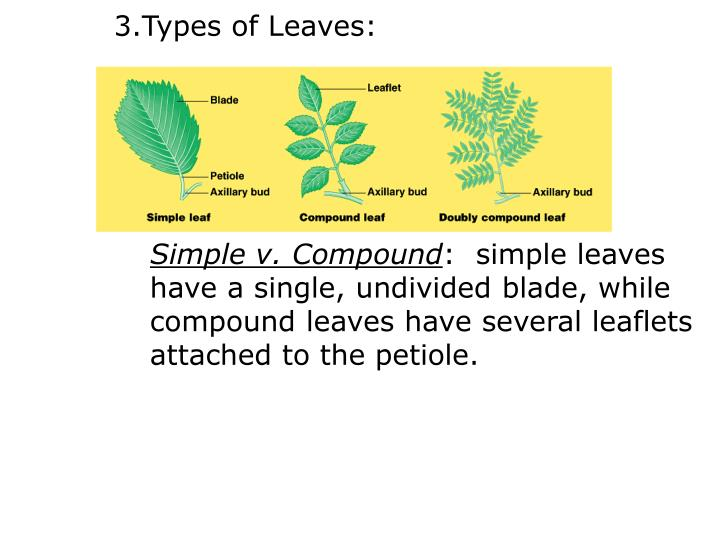 Types of Leaves: