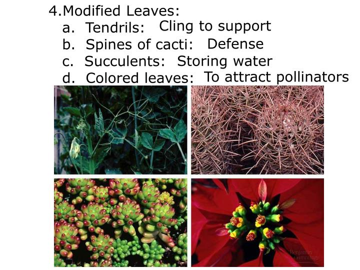 Modified Leaves: