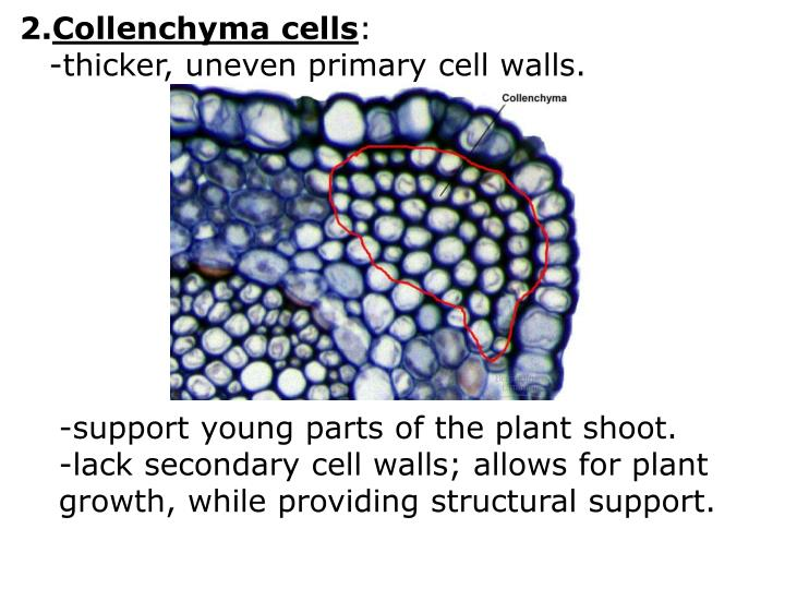 Collenchyma cells