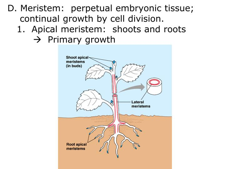 D. Meristem:  perpetual embryonic tissue;