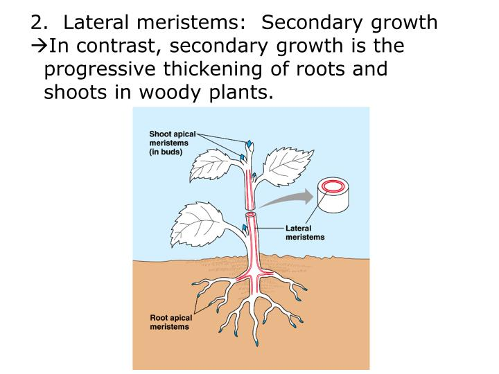 2.  Lateral meristems:  Secondary growth