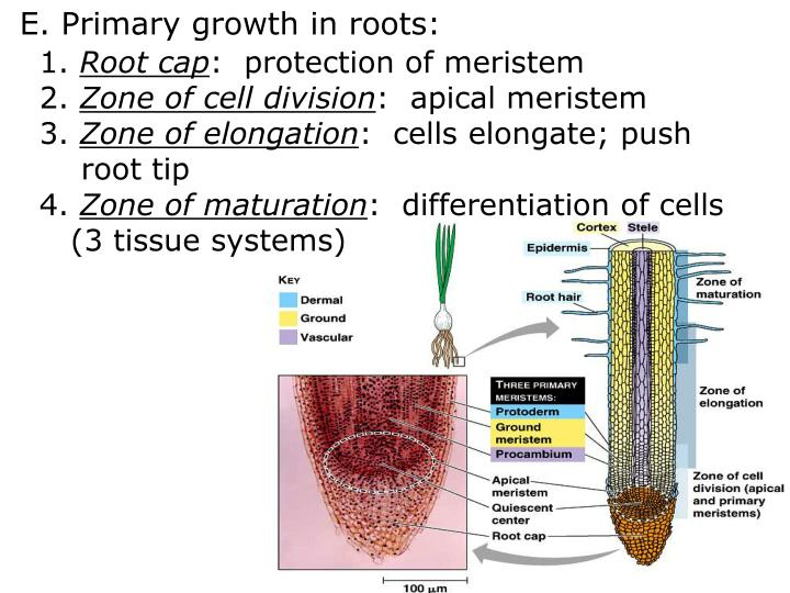 E. Primary growth in roots: