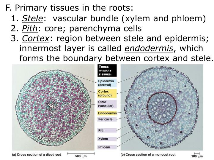 F. Primary tissues in the roots: