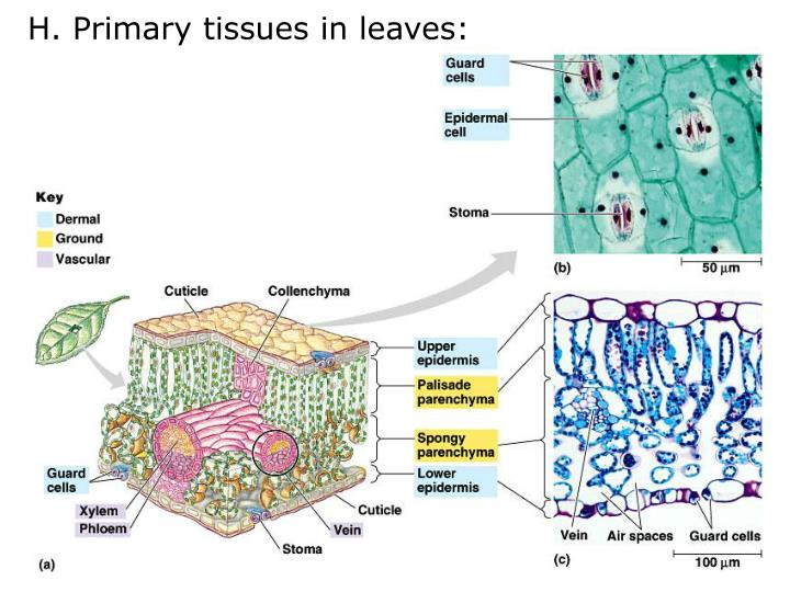 H. Primary tissues in leaves: