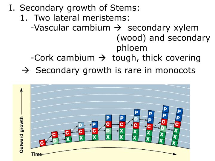 Secondary growth of Stems: