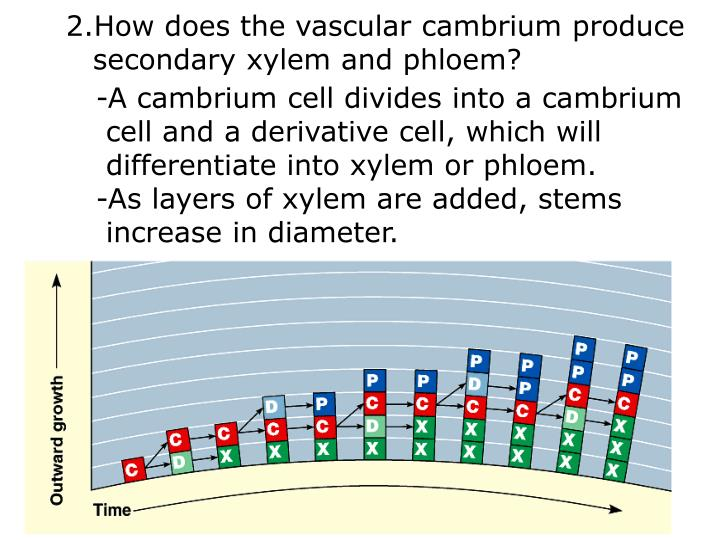 How does the vascular cambrium produce
