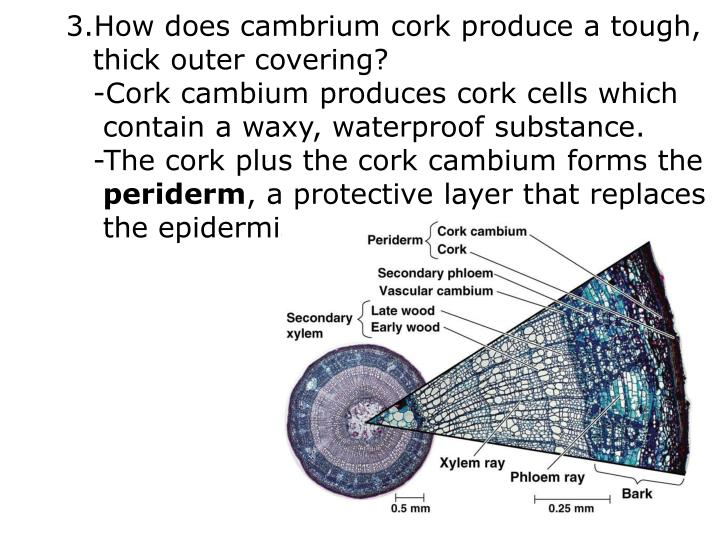 How does cambrium cork produce a tough,