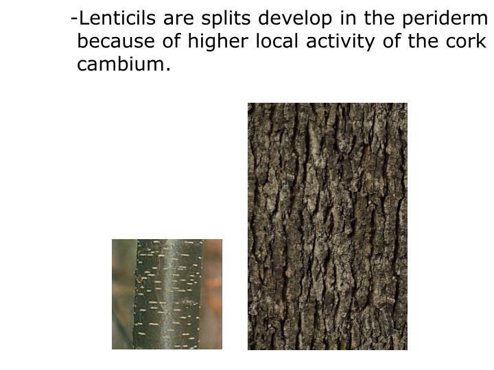 -Lenticils are
