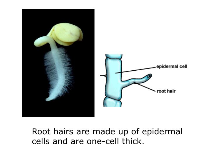 Root hairs are made up of epidermal