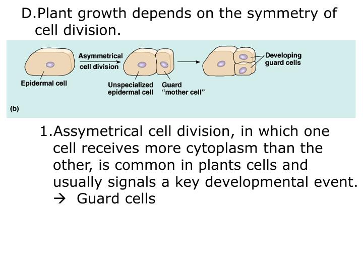 Plant growth depends on the symmetry of
