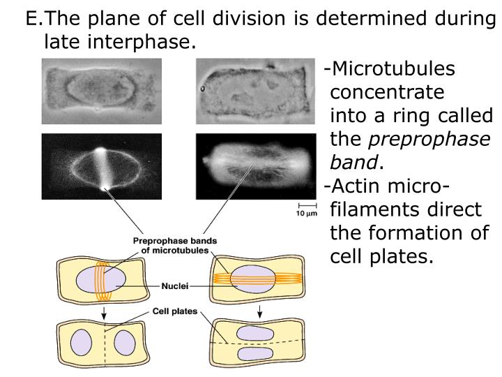 The plane of cell division is determined during