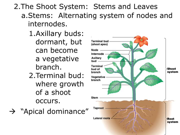 The Shoot System:  Stems and Leaves