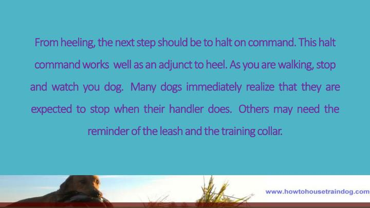 From heeling, the next step should be to halt on command. This halt