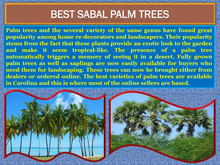 BEST Sabal Palm Trees