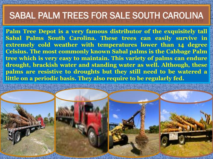 Sabal palm trees for sale south carolina