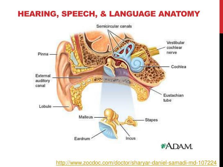 Hearing, Speech, & Language Anatomy