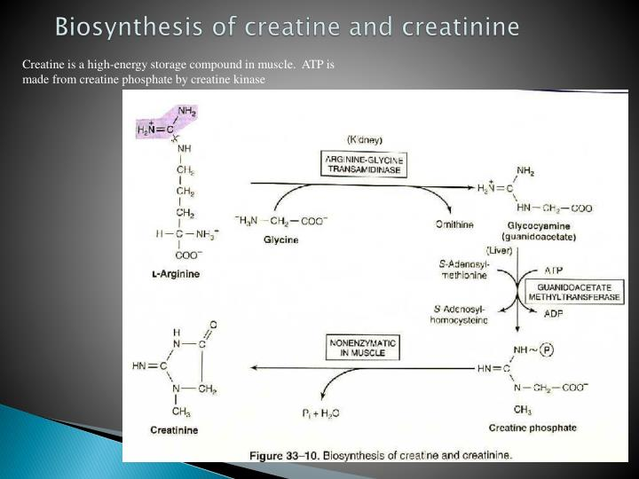 Biosynthesis of creatine and creatinine