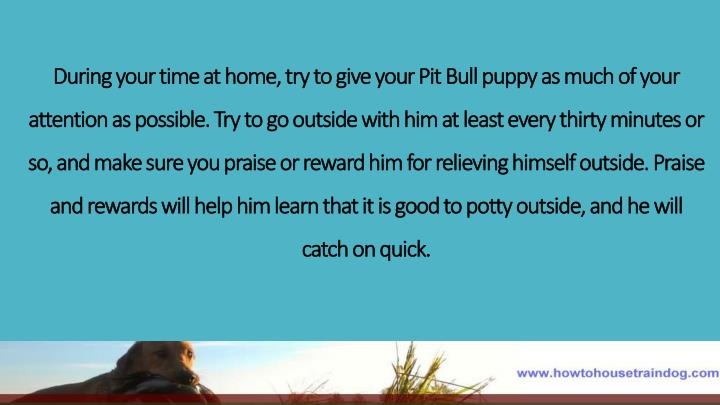 During your time at home, try to give your Pit Bull puppy as much of your attention as